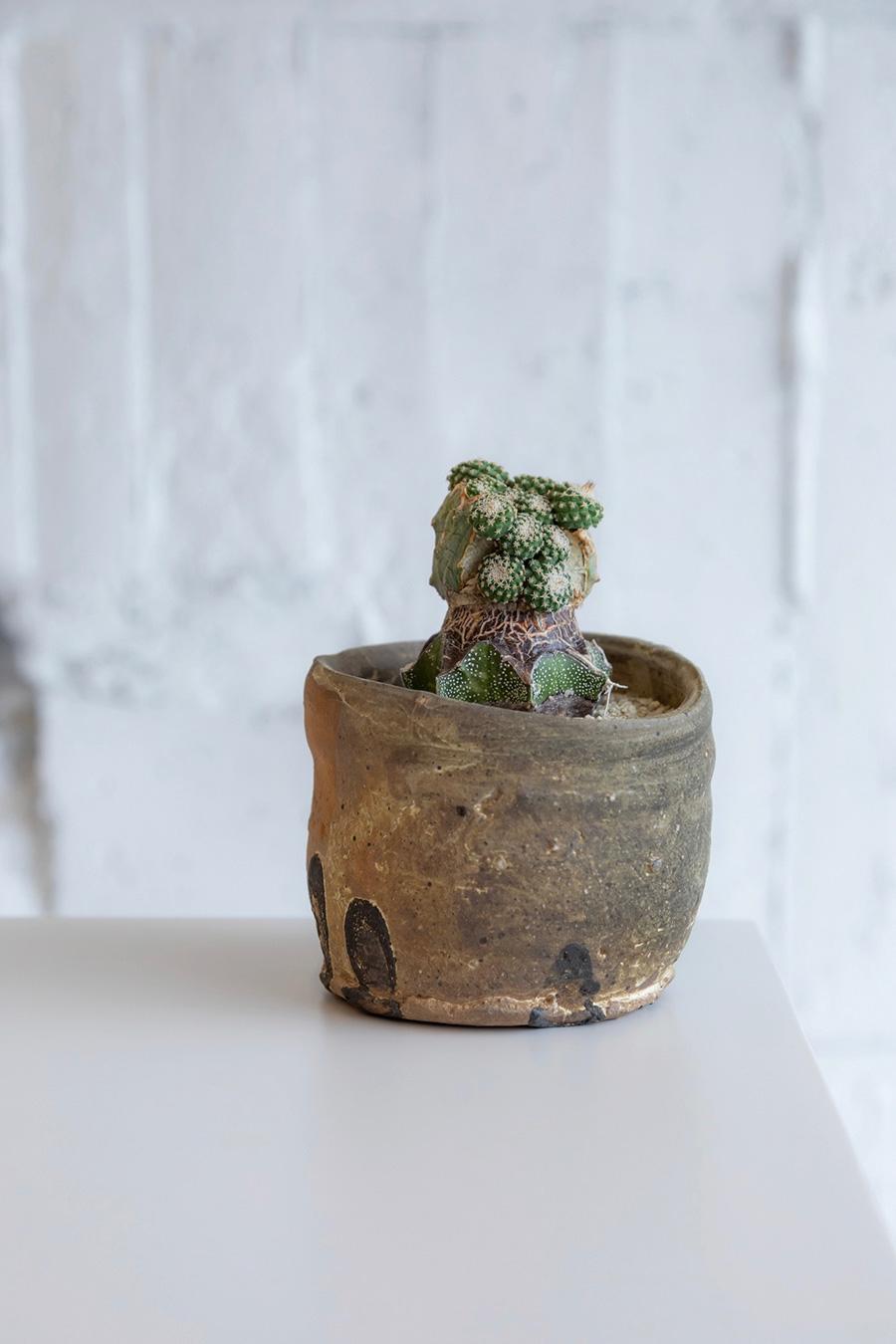 菊水 (きくすい)  ¥40,000 鉢は新進気鋭の作家 安永正臣さん。 菊水の般若接ぎ。接ぎ木により生まれたみずみずしい子株と、経年により茶色くなった活着面がひとつの個体に。