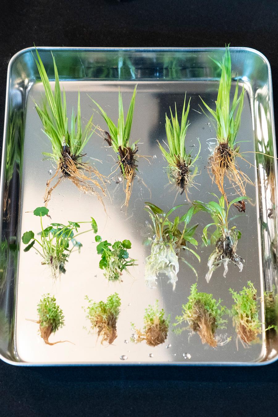 今回使った水草。上・シペルス、中央左・ピグミーマッシュルーム、中央右・クリプトコリネ、下・キューバパールグラス。