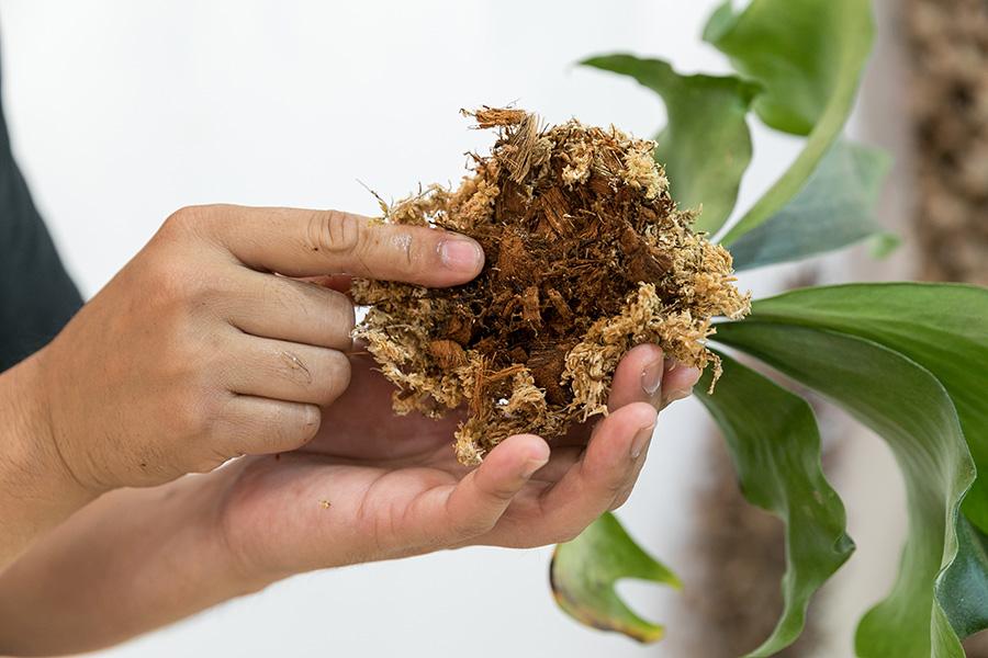 鉢植えされていたヒリーを鉢からそっと抜き、古い水苔を取り除く。水苔を取りすぎて、根を傷めないように注意。