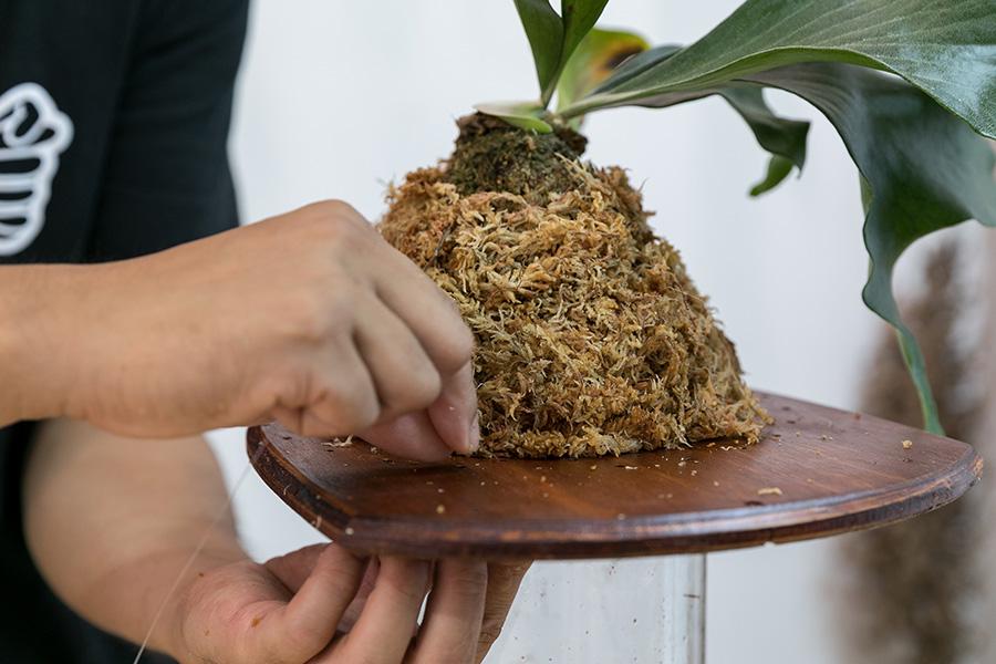 ベラボンを包み込むように水苔で巻き、穴にテグスを通して、ビカクシダを固定していく。