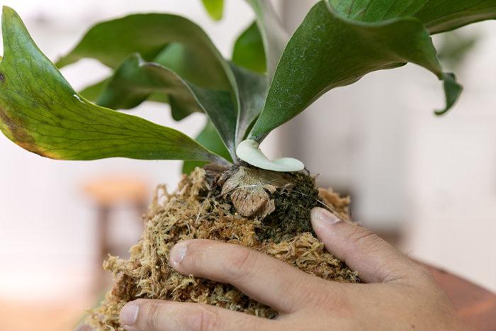 成長点を傷つけないようにテグスで固定していく。