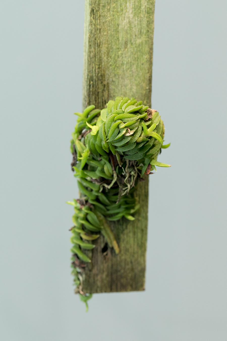 [Schoenorchis Scolopendria]とっても小さなラン。木を這うように成長する独特なカタチがおもしろい。成長はゆっくりだが育てやすい。木が乾いてきたらこまめに水を与える。秋に小さな花をつける。