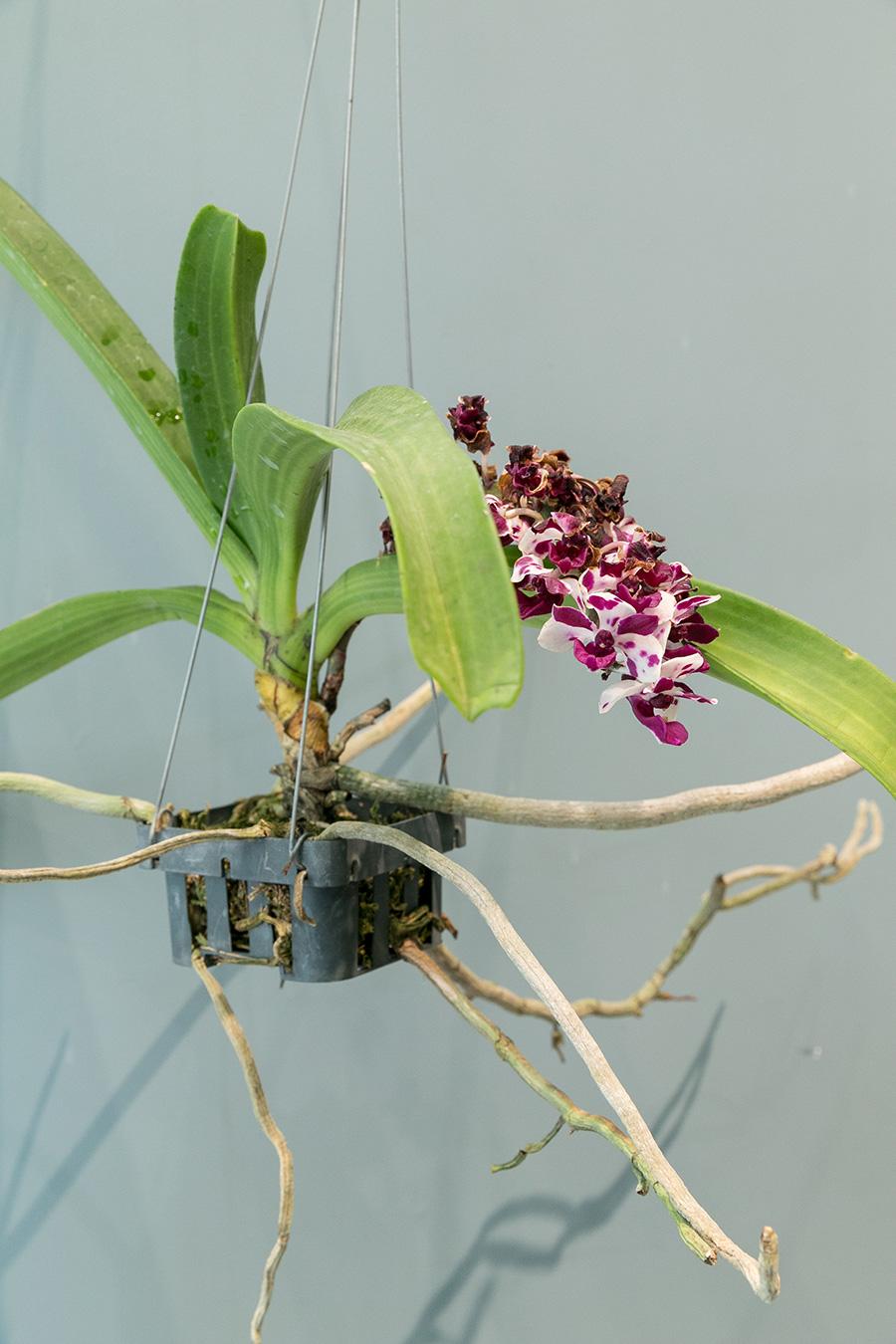 [Rhynchostylis Gigantea]リンコスティリスはバスケットに入れて吊って育てると調子がよいラン。株がずっしりとしていて見ごたえがある。穂が伸びてたくさんの花をつける。