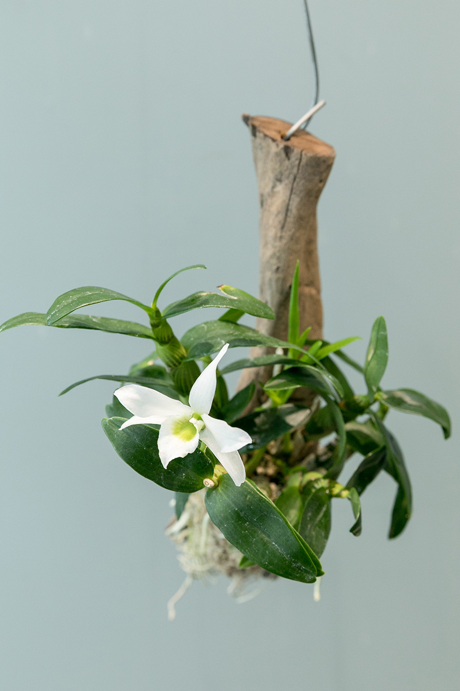 [Dendrobium Angelbaby] デンドロビウム エンジェルベビーは原種ではなく品種改良されたラン。比較的育てやすく、ランの入門には最適な種類。とてもよい香りの花も魅力。