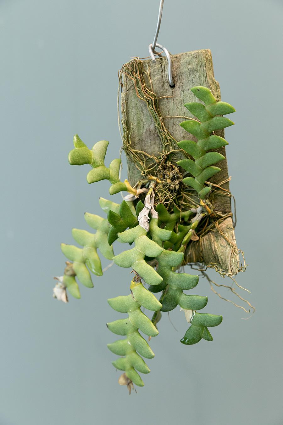 [Dendrobium Leonis]多肉植物のようなギザギザの葉がユニークなデンドロビウム レオニス。小さな香りの良い花を咲かせる。
