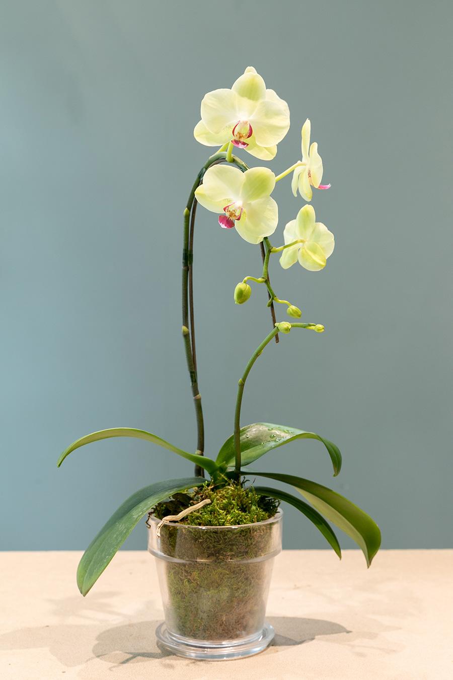 [Phal. Fortune Saltzman]お祝い花として知られるファレノプシス・フォーチュン サルツマンは品種改良されたファレノプシス(胡蝶蘭)。胡蝶蘭は花の色も様々。こちらは花のサイズが小さめのミディ。着生蘭なので必ず水苔で育てる。土はNG。