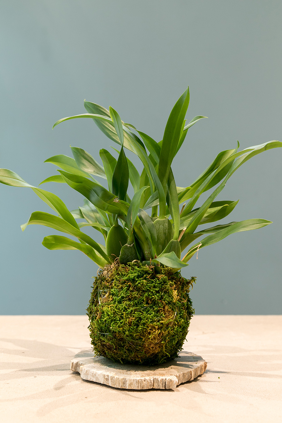 [Oncidium]小さな花をたくさんつけるオンシジウムも交配種。黄色やピンク、オレンジの花をつける。コケ玉に仕立てるのも楽しい。
