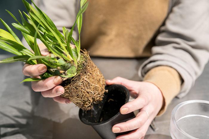オンシジウムをポットから外す。この時、黒く変色している古い水苔があったら、根を傷つけないように取り除く。