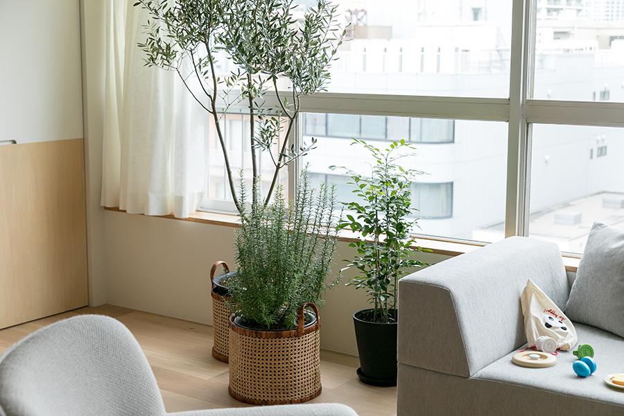 これから植物を増やしていきたいという蟻川さん。リビングに飾られているのはオリーブ、ローズマリー、シルクジャスミン。