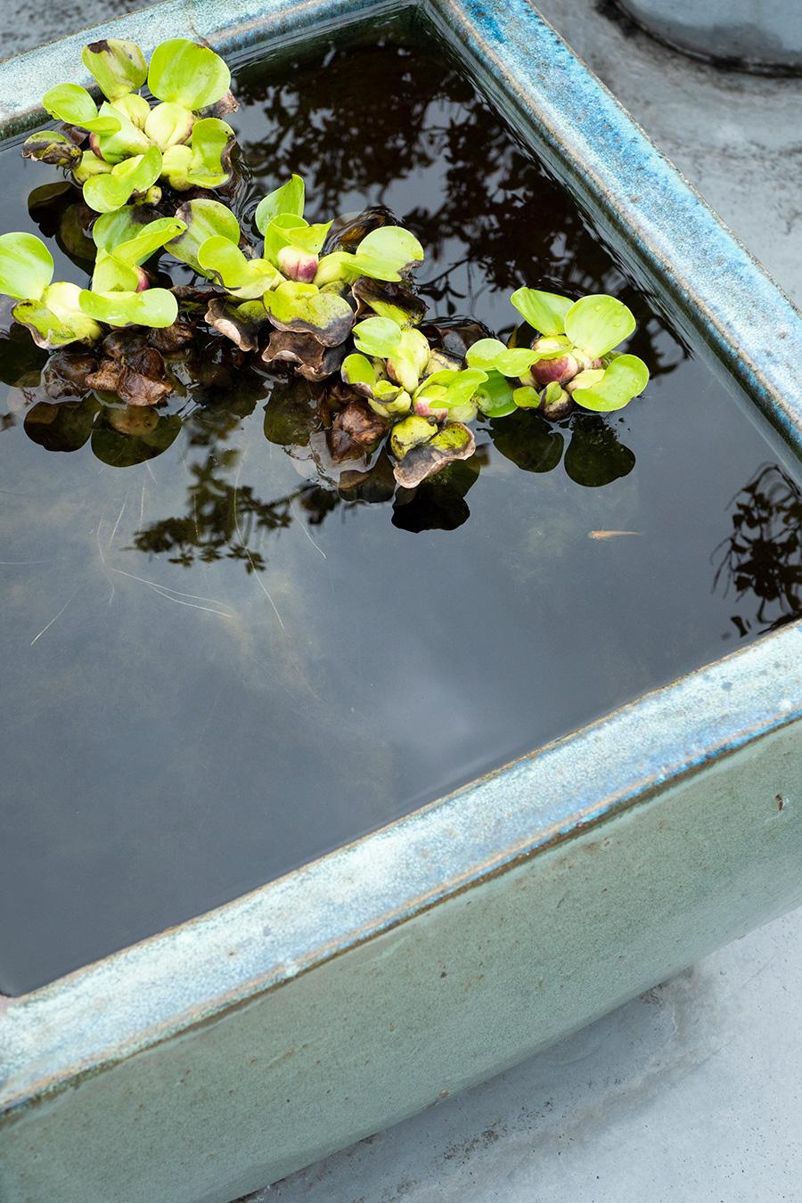 バルコニーのビオトープではメダカを飼育。