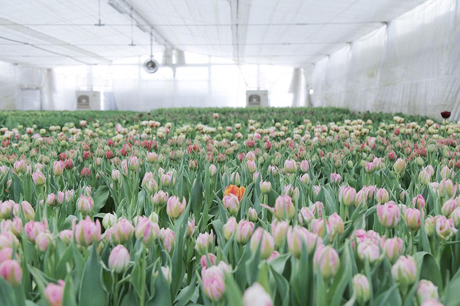 『LIFFT 定期便』1月号はチューリップ。50年以上の歴史を持つチューリップの花卉生産者センティアからのお届け。