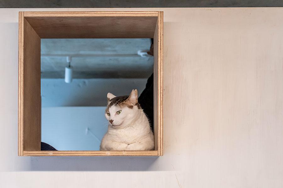 上段の箱から部屋を見下ろす愛猫のロシア。