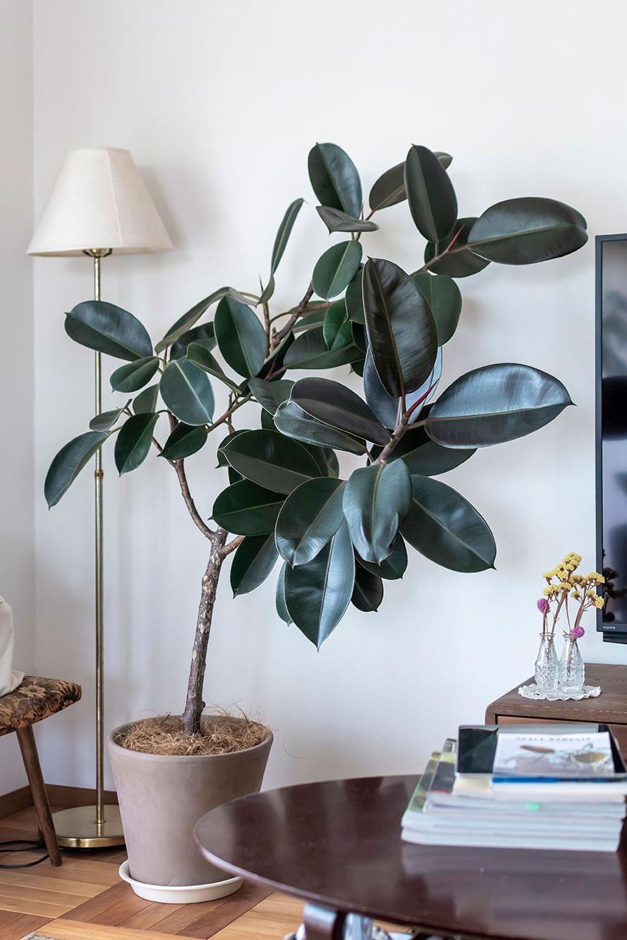 ゴムの木。観葉植物はいいものを少しずつ買い足して。