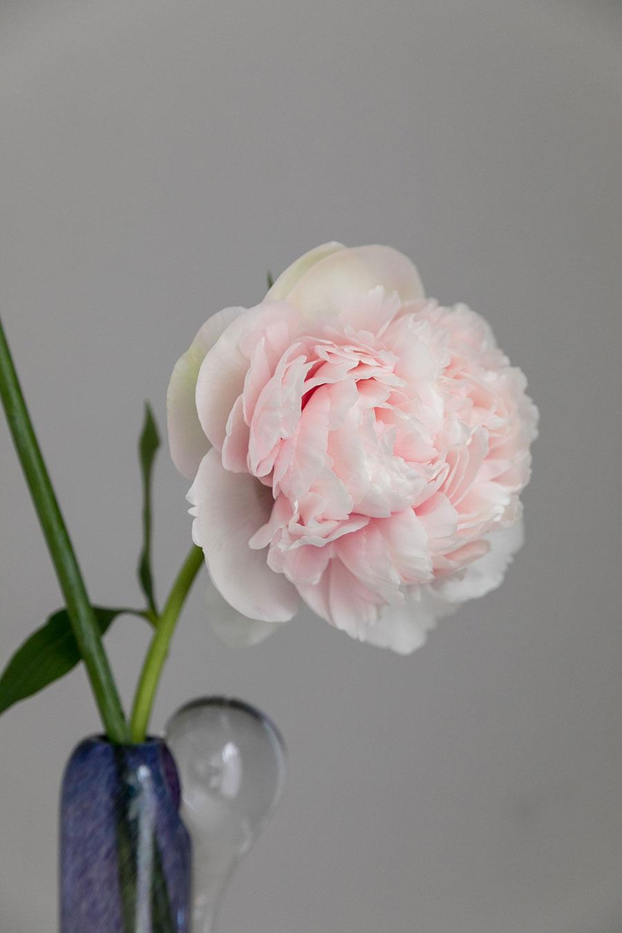 芍薬は柔らかに重なる花弁が美しい。蕾からだんだんと開く過程も素敵。